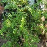 Pilea microphylla Liść