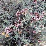 Cuscutaceae