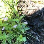 Scutellaria minor