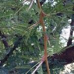 Vachellia robusta