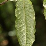 Hirtella physophora