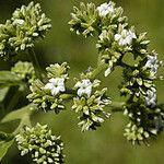 Tournefortia hirsutissima