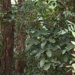 Acropogon francii