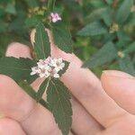 Spiraea japonica Blomst