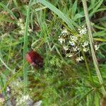 Conopodium majus