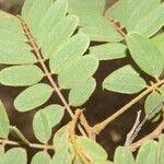Cuphea appendiculata