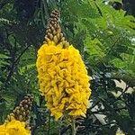 Caesalpinia pluviosa