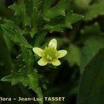 Ranunculus trilobus