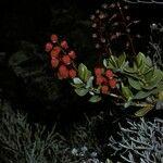 Agauria buxifolia