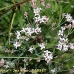 Asperula pyrenaica