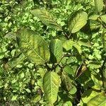Neoshirakia japonica