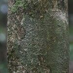 Aspidosperma marcgravianum