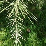 Picea wilsonii