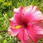 Hibiscus rosa-sinensis Fleur