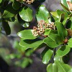 Myrtopsis novaecaledoniae