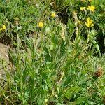 Hieracium chloropsis