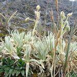 Cerastium floccosum