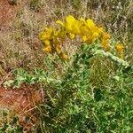 Crotalaria emarginella