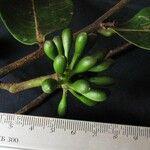Guatteria chiriquiensis