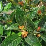 Chrysothemis pulchella Kvet