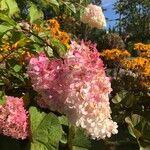 Hydrangea paniculata Pflanze