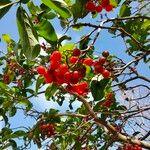 Cordia collococca Fruto