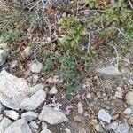 Saponaria ocymoides Fleur