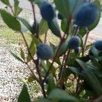 Myrtus communis Fruit