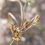 Carex arenaria