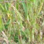 Bromus arvensis