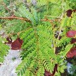 Acacia gaumeri