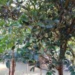 Ficus velutina