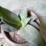 Sansevieria trifasciata 葉