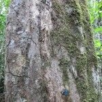 Acioa guianensis