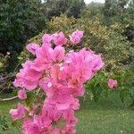 Bougainvillea spectabilis 花
