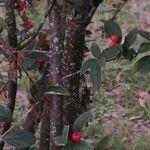 Cotoneaster wardii