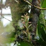Bulbophyllum cylindrocarpum