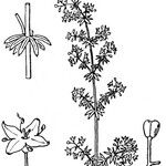 Galium neglectum
