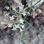 Asperula cynanchica