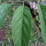 Annona squamosa Leaf