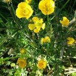 Ranunculus macrophyllus