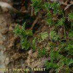 Aphanes floribunda