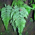 Lastreopsis exculta
