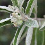 Croton incanus