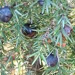 Juniperus oxycedrus Fruit