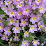 Primula vulgaris Flor