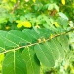 Breynia vitis-idaea