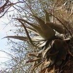 Aloe secundiflora Feuille