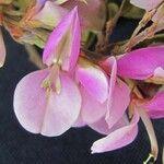 Desmodium cajanifolium