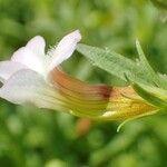 Gratiola officinalis